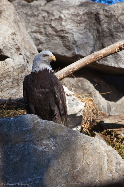 Bald Eagle, Calgary Zoo Nov. 1