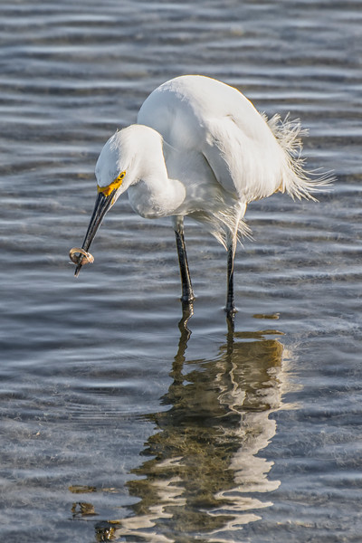 Egret Fishing 3.jpg