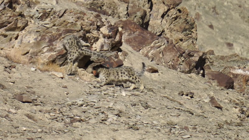 Video of Mom & cub snow leopards