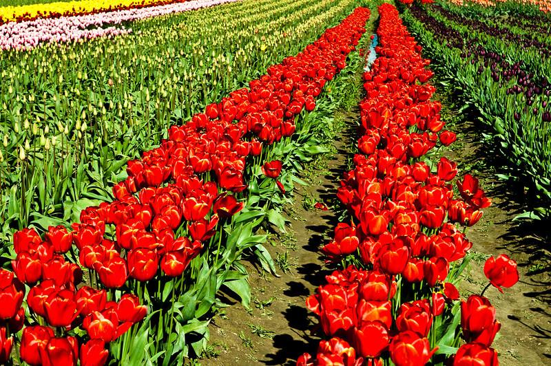TulipFestival-136.jpg