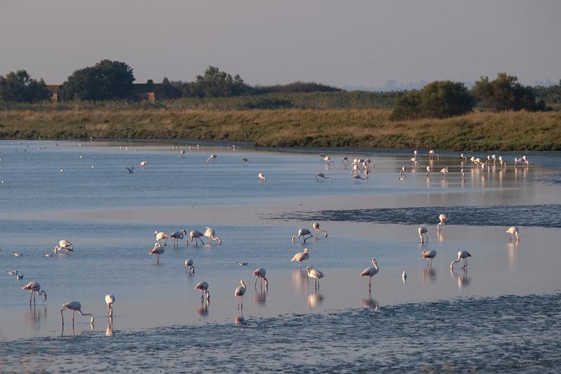 flaming różowy | greater flamingo | phoenicopterus roseus
