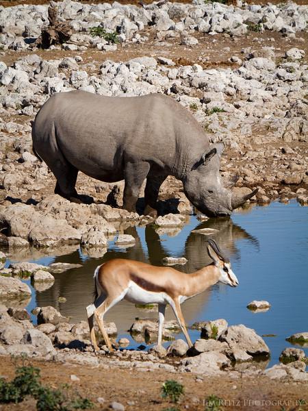 Rhino and Springbok at the water hole - Etosha National Park, Namibia.
