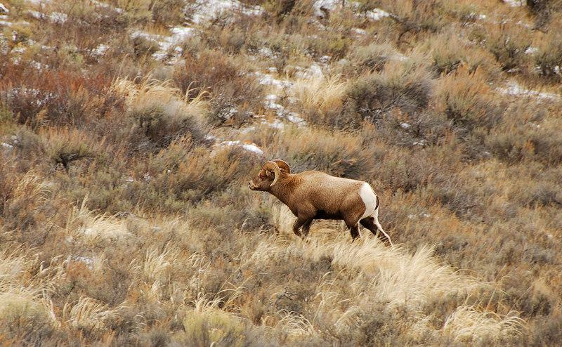 Big horn sheep   (Dec 12, 2006, 02:01pm)  Seen along the National Elk Refuge Road, just north of Jackson, Wyoming.