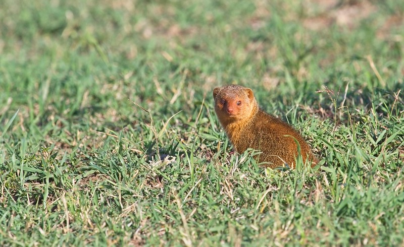 Dwarf Mongoose, Naboisho Conservancy