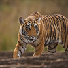 Tiger in a dry forest