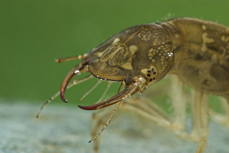 Water Tiger, larva of the Giant Diving Beetle, I use a glass shooting box filled with clean water to get these pictures.