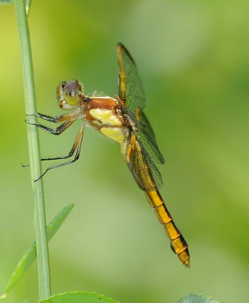 Libellula flavida (Yellow-sided Skimmer), GA - female