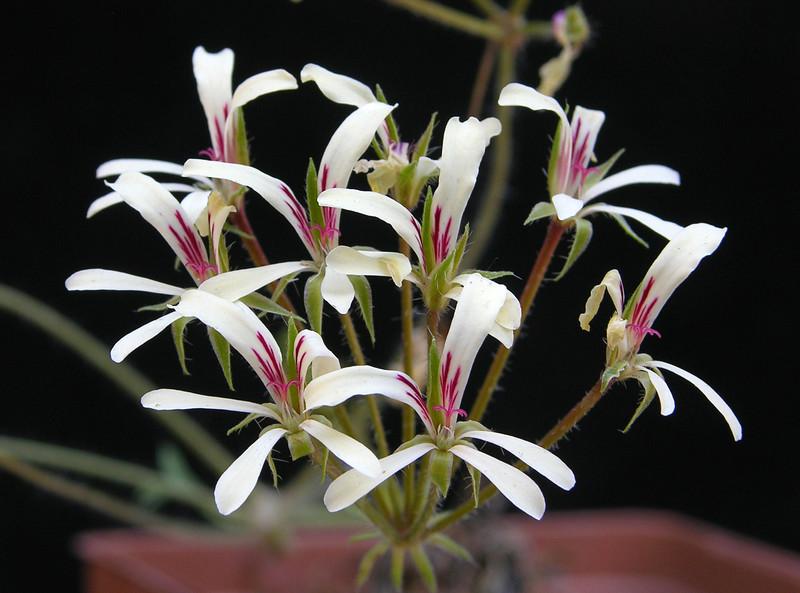 Pelargonium fissifolium flowers