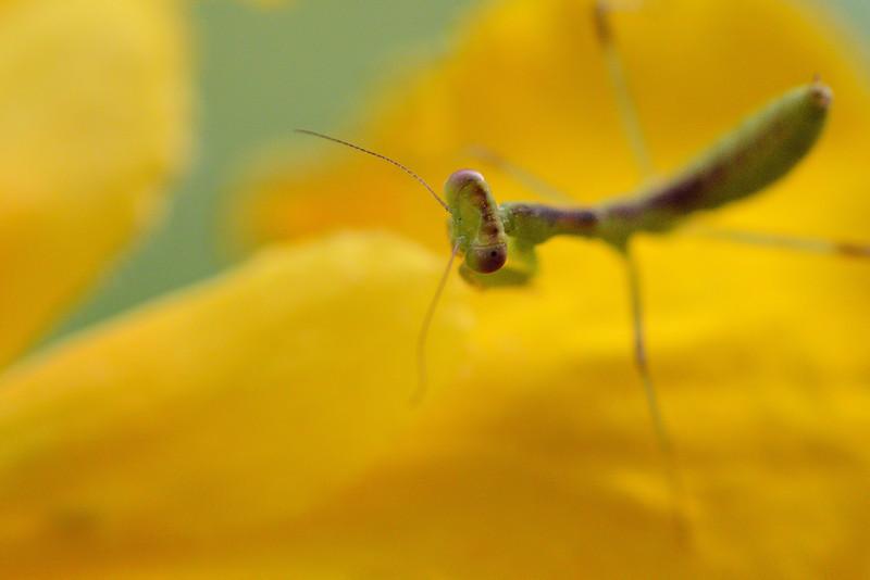 Praying-Mantis-from-the-top-eye.jpg