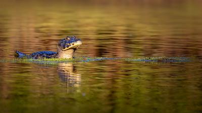 Reptiles of South Pantanal