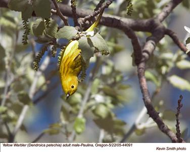 YellowWarblerM44091.jpg