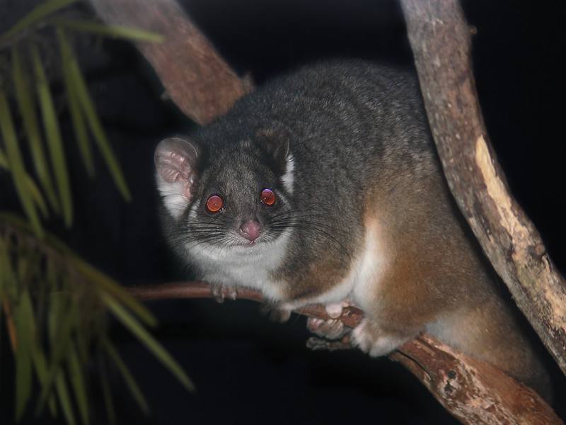 Possum_Ring-tailed444.jpg