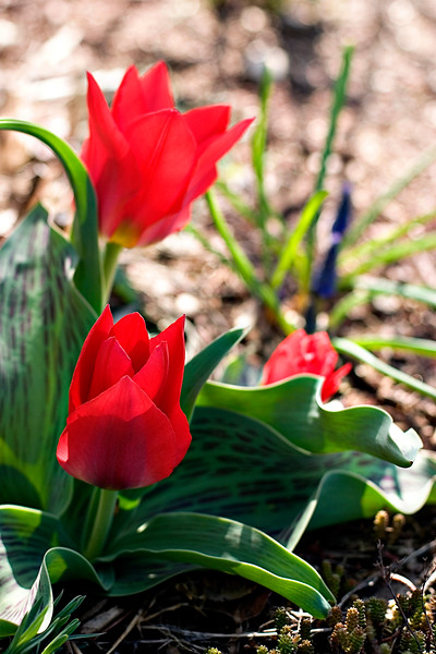tulips_2468648373_o.jpg