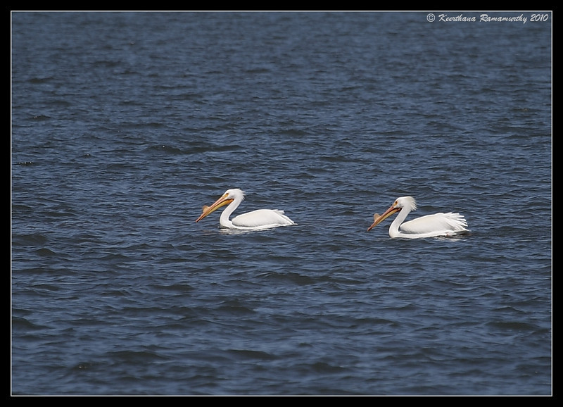 American White Pelicans, South Bay Salt Works, San Diego County, California, March 2010