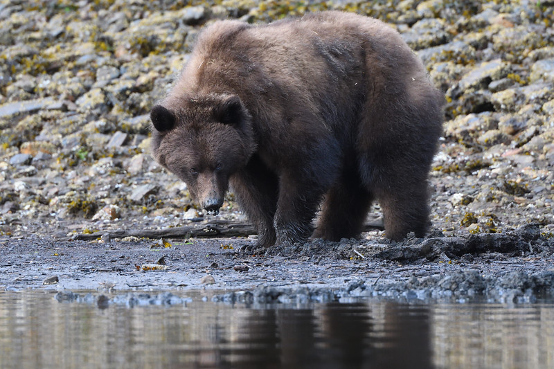 Clamming Grizzly