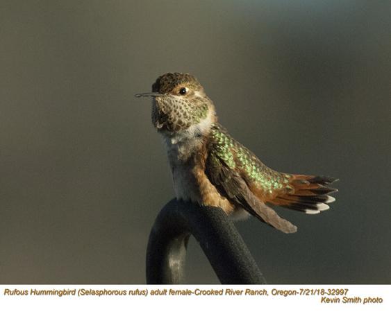 Rufous Hummingbird F32997.jpg