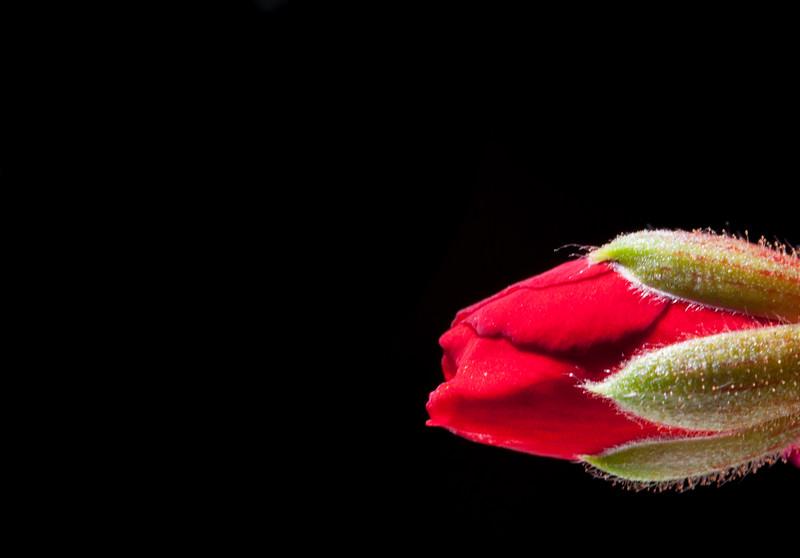 red geranium bud