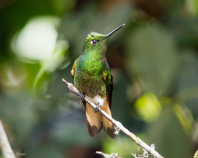 Buff-tailed Coronet at Alambi, Ecuador (03-03-2014) 024-48-Edit.jpg