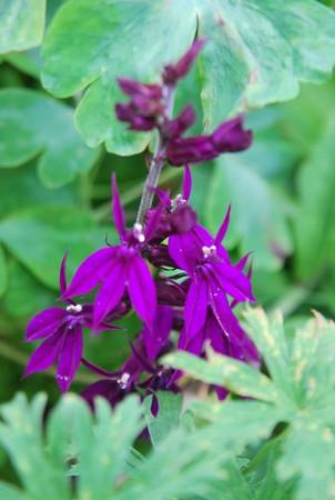 Lobelia 'Hadspen Purple'.jpg