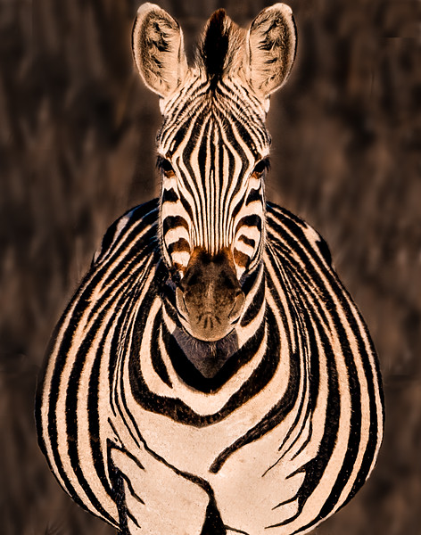 ZEBRA HEAD-ON