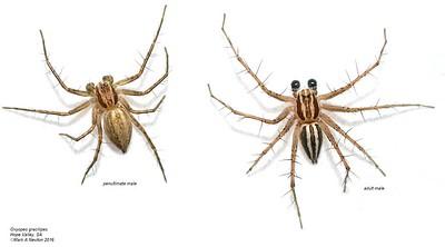 Oxyopidae (Lynx Spiders)