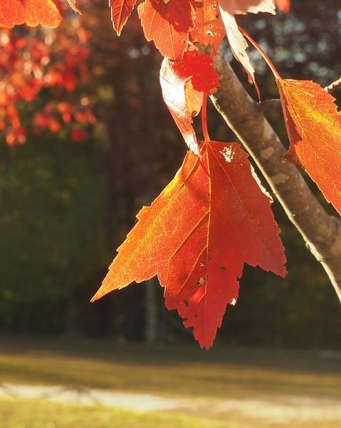 Canaan Valley leaf.JPG