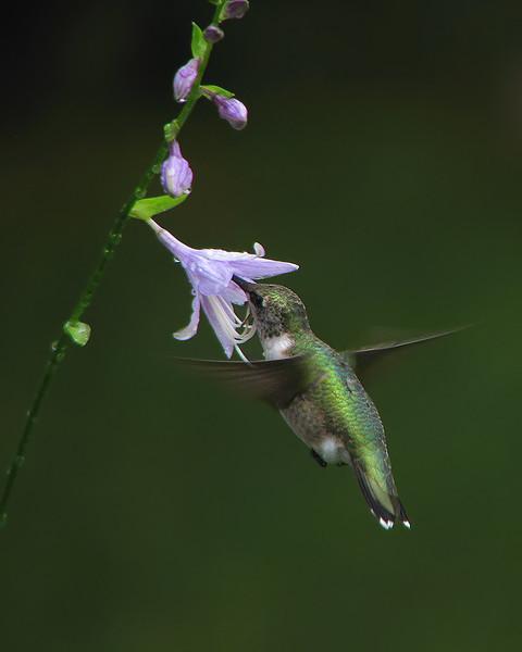 hummingbird_9078.jpg