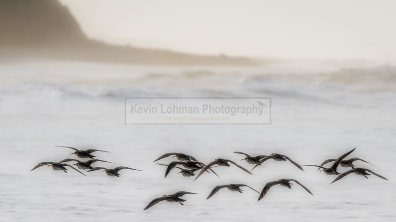 Whimbrels in Flight Along the California Coast