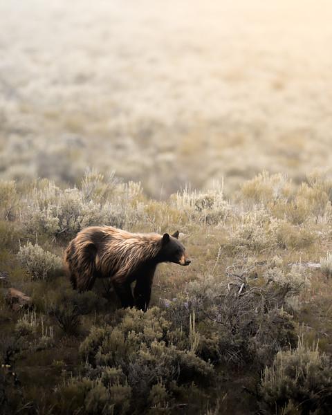 Molting Black Bear