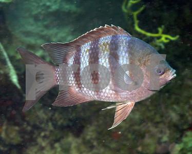 SERGEANT MAJOR FISH