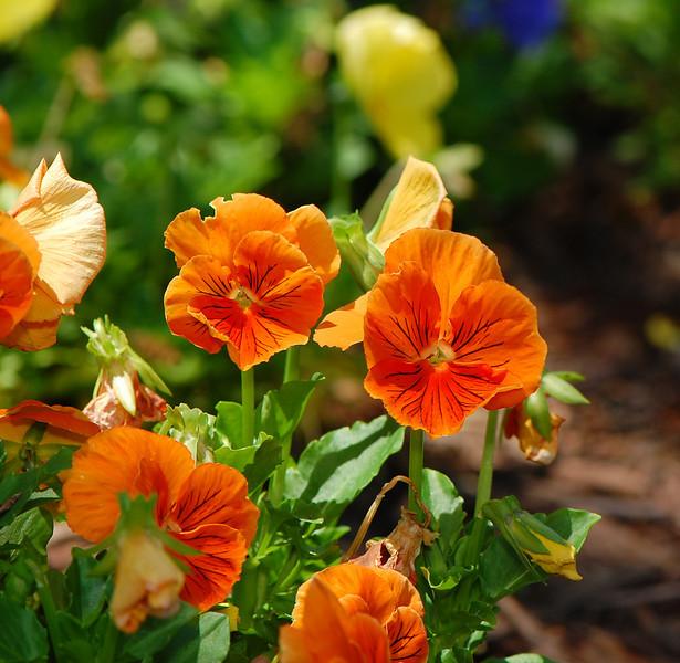 orangepansies.jpg