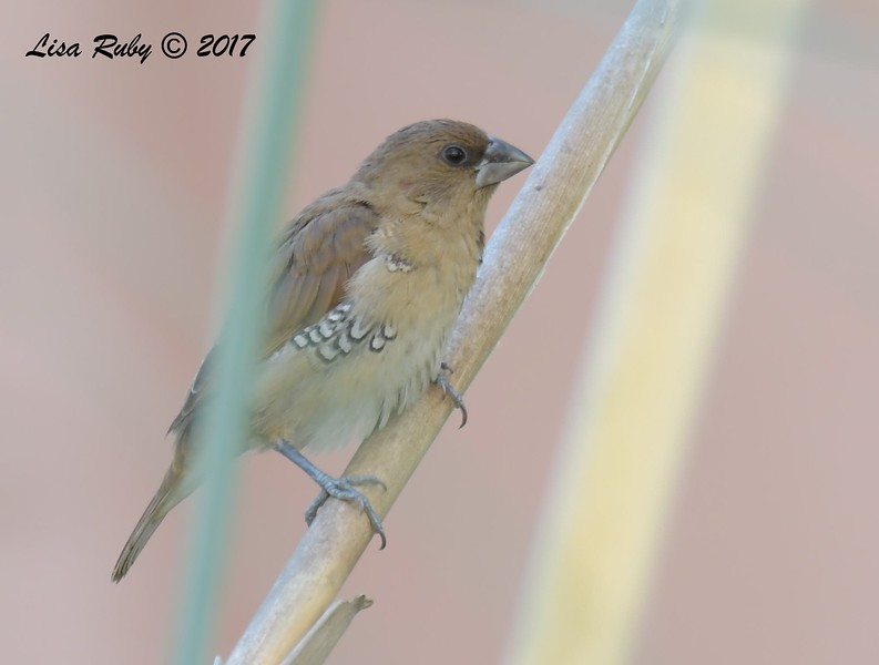 Immature Scaly-breasted Munia - 11/22/2017 - San Diego River Mission Valley