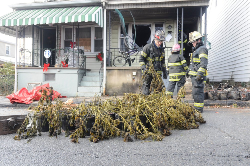 Description of . Port Carbon firefighter Tim Walsh places a marijuana plant on the street among others taken out of the second floor apartment in Port Carbon, Pa., Wednesday, Nov. 28, 2012.  (AP Photo/The Republican-Herald, Nick Meyer)