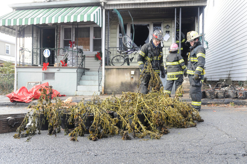 . Port Carbon firefighter Tim Walsh places a marijuana plant on the street among others taken out of the second floor apartment in Port Carbon, Pa., Wednesday, Nov. 28, 2012.  (AP Photo/The Republican-Herald, Nick Meyer)