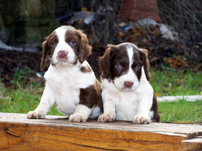 Cute Spring Spaniel Puppies