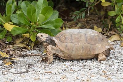 Feb. 12, 2017 - Sanibel - Gopher Tortoises