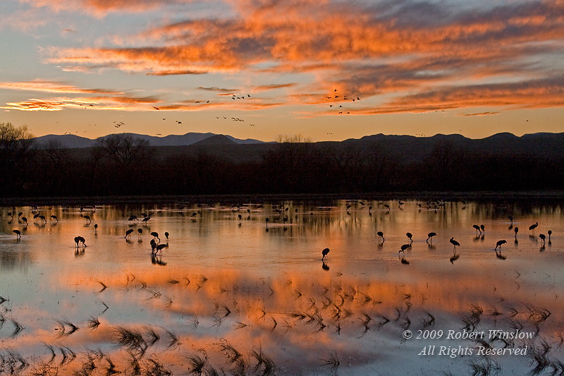 Evening, Sandhill Cranes, Grus canadensis, Bosque del Apache National Wildlife Refuge, New Mexico, USA, North America