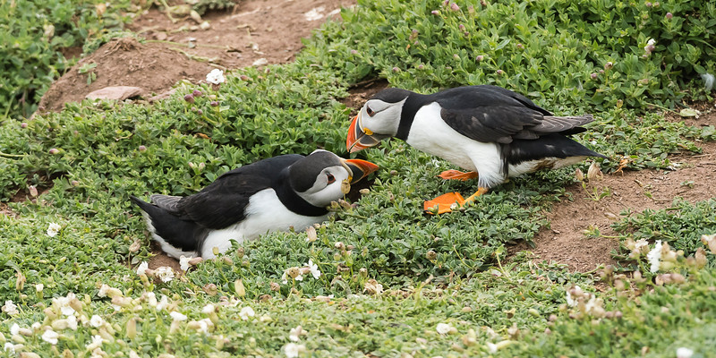Puffins - harmony outside the nest-hole - the male is normally the largest.