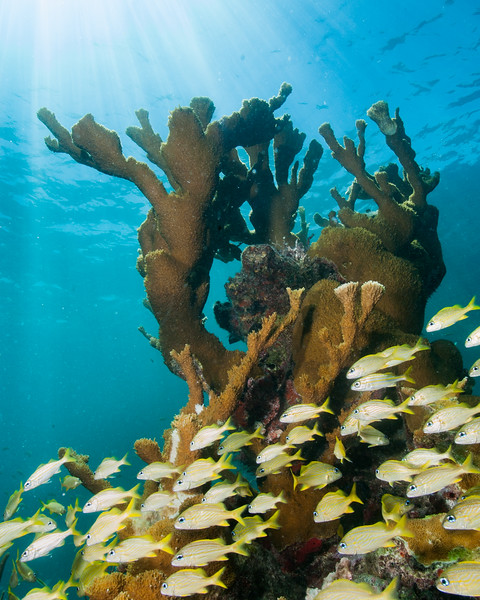 A school of small french grunts swims by a large colony of Elkhorn Coral in Biscayne.