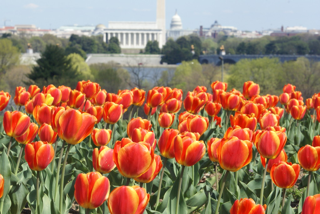 Netherlands Carillon Tulips overlooking the monuments - DC