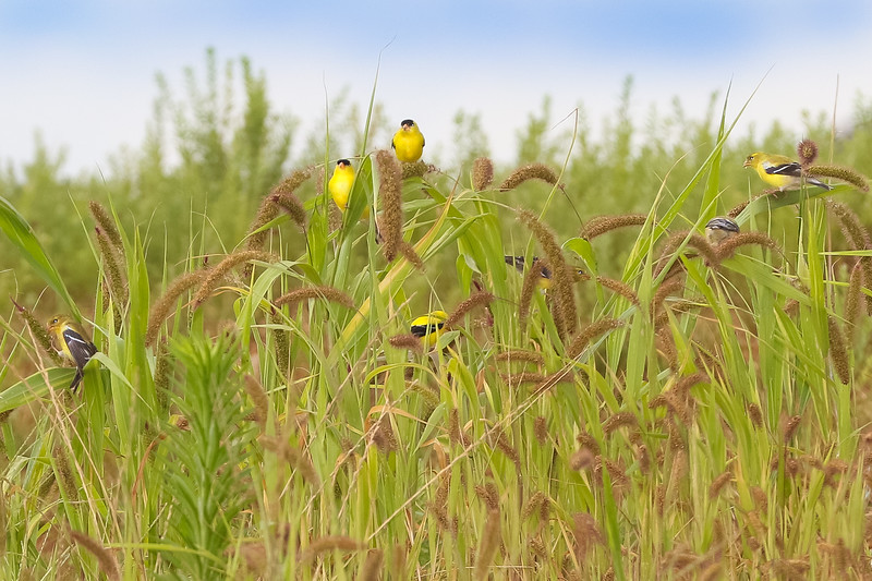 2018 Family of Yellow Finches-20117.jpg