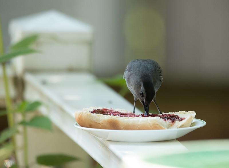 Gray Catbird having a jellybread sandwich