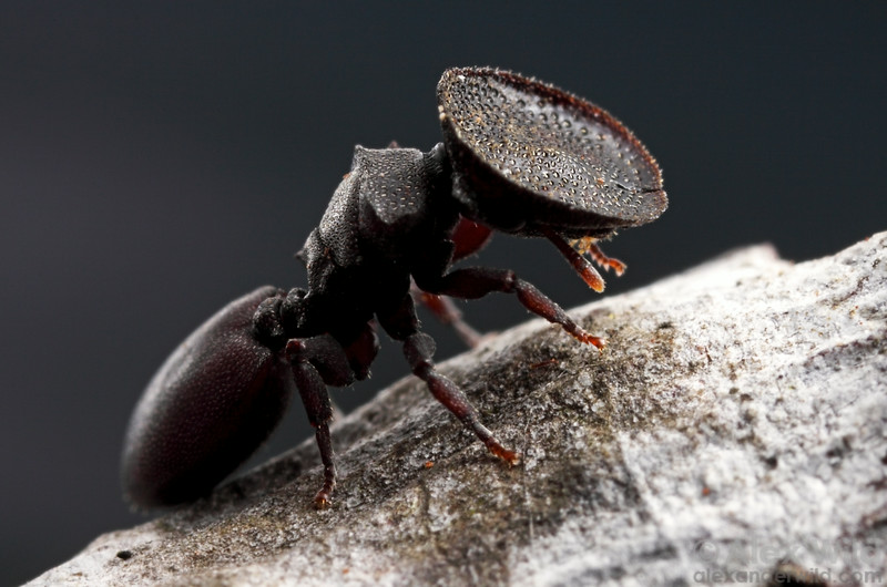 Cephalotes varians, turtle ant soldier. The bizarre disc on the head is used as a living door to block the nest entrance.  Florida Keys, USA