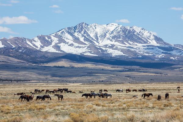 The Onaqui Wild Mustangs
