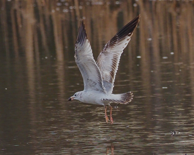 Ring-billed Gull, first-cycle