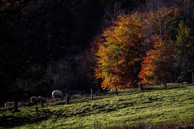 Grazing Sheep Hartoak Valley