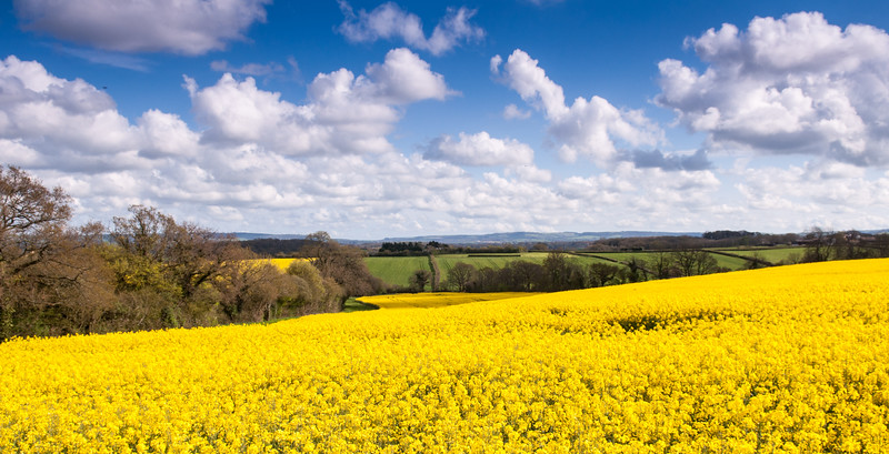 Oilseed rape fields in the Blackmore Vale