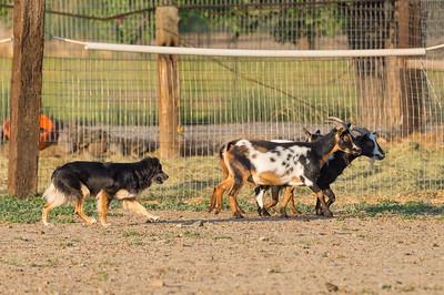 #1 PT Goats