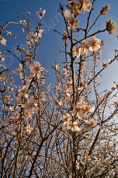 4U7C9951 Almond flowers.jpg