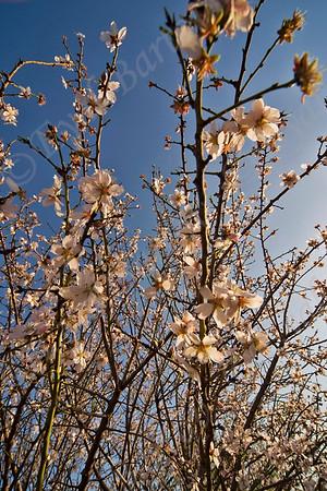 Almond Tree עצי שקד